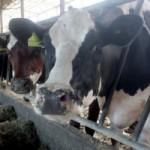 Farmi krava u Dobanovcima prijeti propast