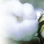 Indija zabranila izvoz pamuka
