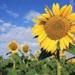 Srbija oborila rekord u izvozu pšenice i suncokreta