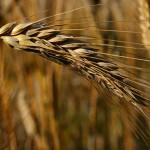 Smanjena prognoza roda žitarica u Rusiji