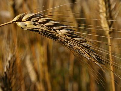 Prinos žitarica od 2,5 do četiri tone po hektaru