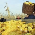 Suša uništila 70 odsto kukuruza