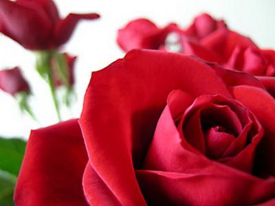 Holandija uvozi više od 70 odsto ruža