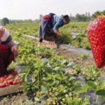 Počela berba jagoda, zbog mrazova upola manji prihodi