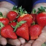 Moskva će čekati šabačke jagode