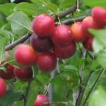 Diksi hoće srpke kruške, šljive, jabuke, paradajz…