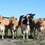 Sastanak eksperata FAO, bolest kvrgave kože goveda prijeti i BiH