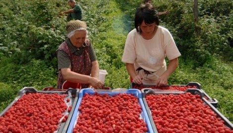 """Cilj """"Dana maline"""" promocija poljoprivredne proizvodnje"""