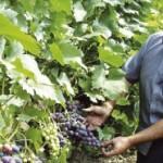 Zakupac vinograda Agrokopa želi i koncesiju