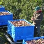 Bh. proizvođači jabuka: Strahujemo da ćemo morati ugasiti proizvodnju