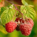 U Bratuncu podijeljeno 130.000 sadnica maline