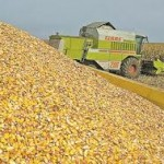 Država kupuje 50 000 tona kukuruza