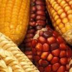 Interventna prodaja kukuruza za 18 dinara po kilogramu