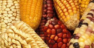 """Cijene kukuruza """"divljaju"""""""