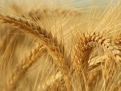 Smanjen ruski izvoz pšenice