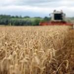 Pod pšenicom samo 120.000 hektara