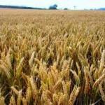 Podsticaj za pšenicu tri feninga