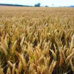Pšenica požnjevena sa 80 odsto površina