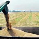 Žetva pšenice pri kraju – kvalitet zrna dobar