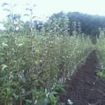 U Livnu podijeljeno 7.000 sadnica voća