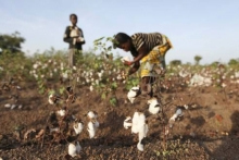 Djeca robovi uzgajaju pamuk za Victorias Secret donji veš