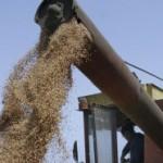 Prinos pšenice kao i lani