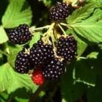 U Bratuncu počinje sadnja nove sorte kupine