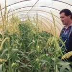 Kukuruz šećerac ispod plastenika