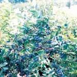 Rod slabiji, a cijena borovnice ne pada