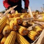 U Srbiji manji rod kukuruza za 45 odsto
