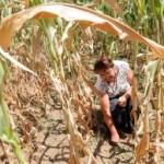 RS prijeti nestašica pšenice i kukuruza
