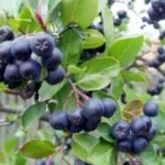 Podignut prvi zasad aronije u organskoj proizvodnji