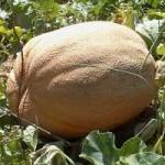 Uzgojio dinju tešku 14,5 kilograma
