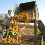 Berba kukuruza počela ranije
