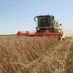 Rekordna proizvodnja hljebnog žita