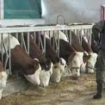 """PD """"Semberija"""" raspolaže sa dovoljno hrane za stočni fond"""