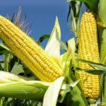 Zaražen srpski kukuruz stiže u SAD
