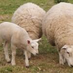 Održana treća regionalna izložba ovaca