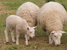 Što prije riješiti problem ovčara
