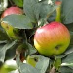 Ukupna proizvodnja voća veća od 600.000 tona