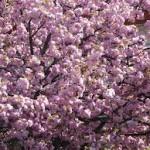 Procvjetale japanske trešnje