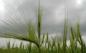 FAO obezbijedio 23 tone sjemena pšenice i ječma