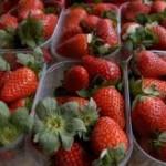 Obilne padavine pogoduju razvoju bolesti jagode