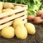 Povećane vrijednosti otkupa krompira i voća