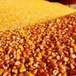 Pale cijene pšenice i kukuruza