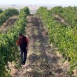 Odložena prodaja Vršačkih vinograda