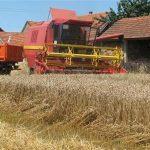 Žetva pšenice u punom zamahu, prinosi do 5.000 tona