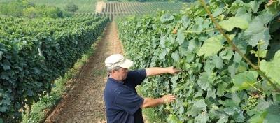 """U vinogradima """"Agrofina"""" počela berba, cijene iste"""