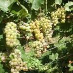 U Agrokopu okončana berba grožđa