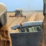 Oko 19 odsto pšenice nepožnjeveno